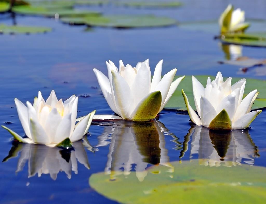 In einen Teich gepflanzte Seerosen während eines Biomanipulationsprozesses